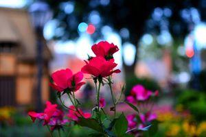 Фото бесплатно Epcot, цветы, макро