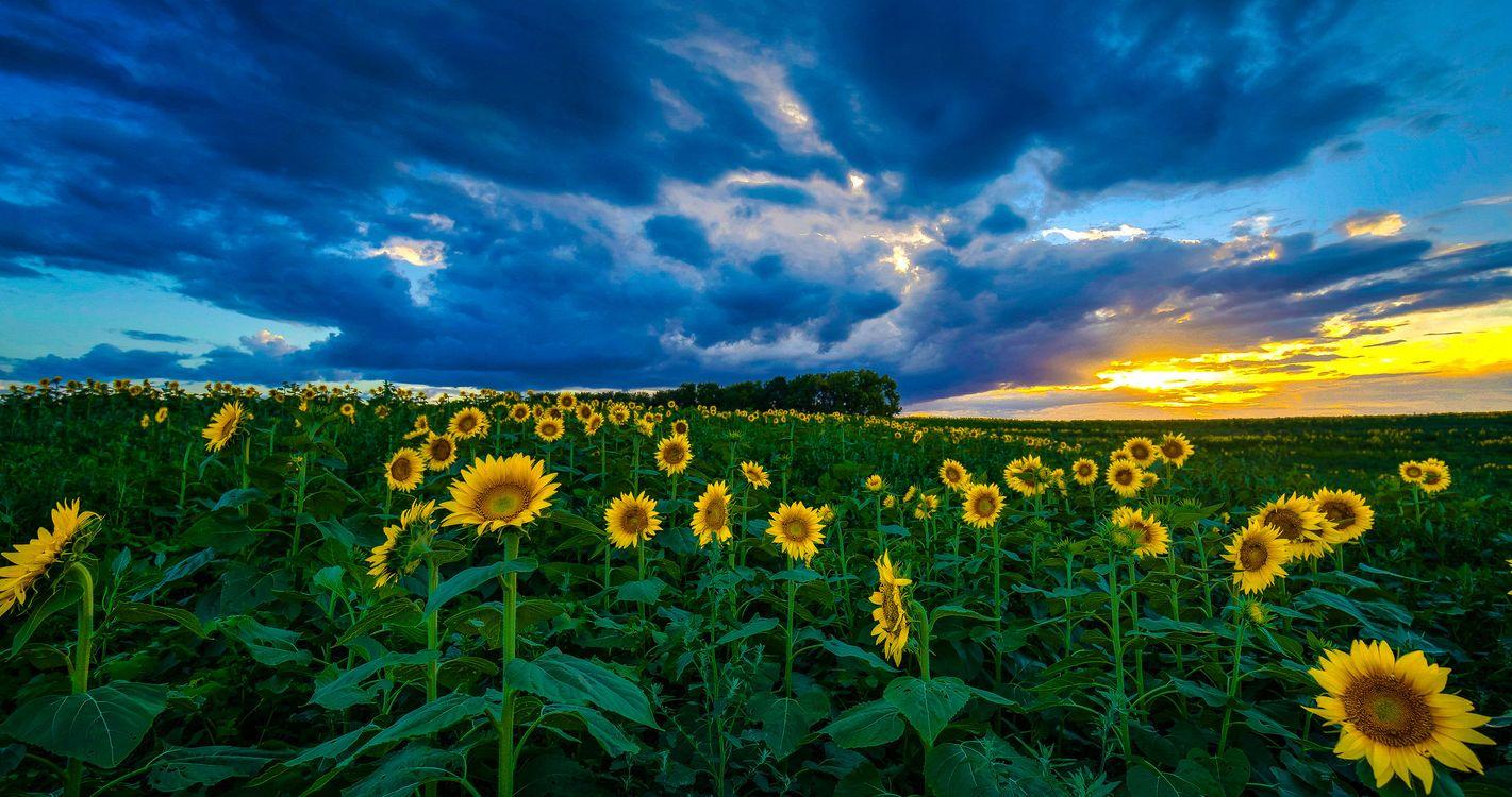 Фото бесплатно поле, подсолнухи, закат, цветы, небо, облака, природа, тучи, лучи солнца, горизонт, даль, поляна, лето, пейзажи - скачать на рабочий стол