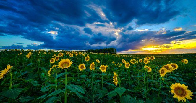 Фото бесплатно поле, подсолнухи, закат, цветы, небо, облака, природа, тучи, лучи солнца, горизонт, даль, поляна