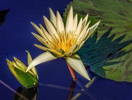 Распустившаяся лилия