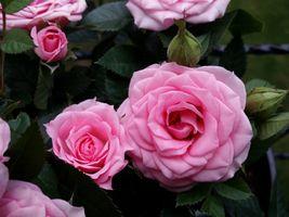 Фото бесплатно роза, цветок, розы