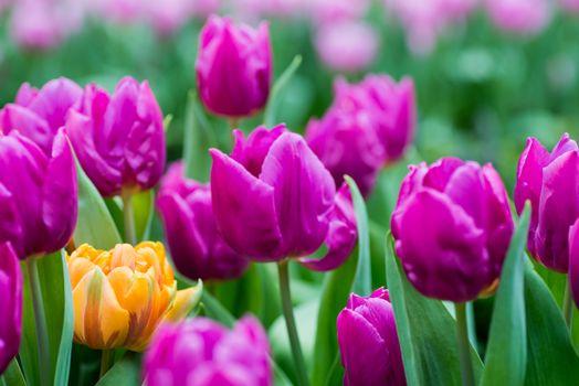Фото бесплатно тюльпан, тюльпаны, флора