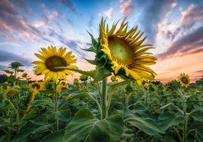 Фото бесплатно закат, подсолнухи, небо