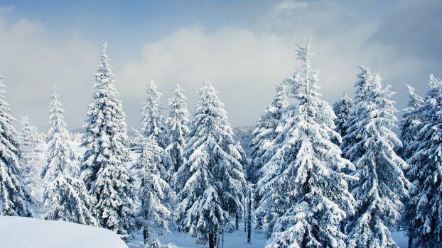 Фото бесплатно елки в снегу, сугробы, зимний пейзаж