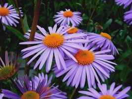 Фото бесплатно астра tongolensis, michelmas, розовато лиловый цветок