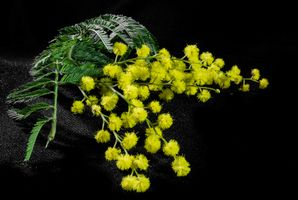 Бесплатные фото мимоза, ветка, цветы, чёрный фон, флора