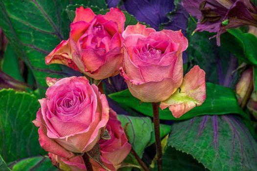 Обои роза,розы,цветок,цветы,флора