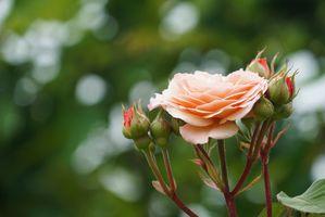 Цветущая роза в летнем саду