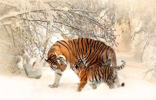 Заставки тигр, тигрёнок, хищники