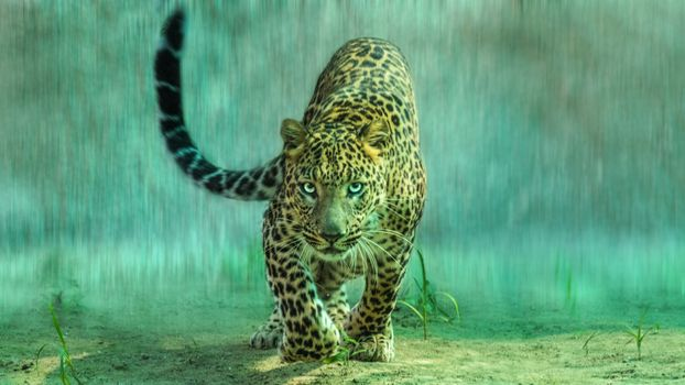 Leopard in the rain · free photo