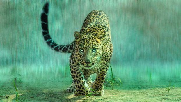 Леопард под дождем