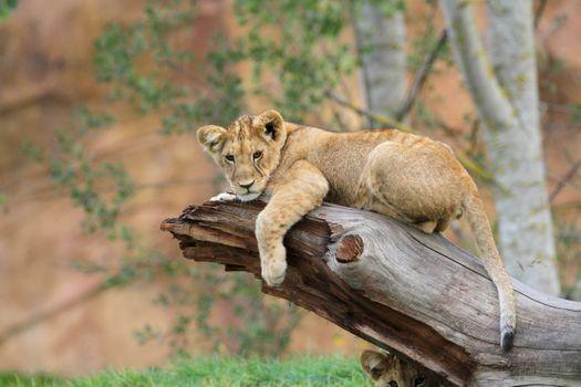 Photo free lion, resting, wild