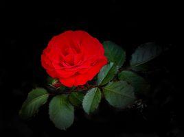 Фото бесплатно роза, растение, красный