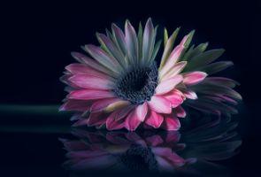 Бесплатные фото Гербера,цветок,чёрный фон,макро,флора
