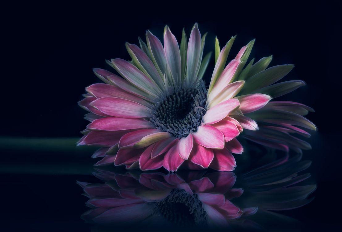 Фото бесплатно Гербера, цветок, чёрный фон, макро, флора, цветы