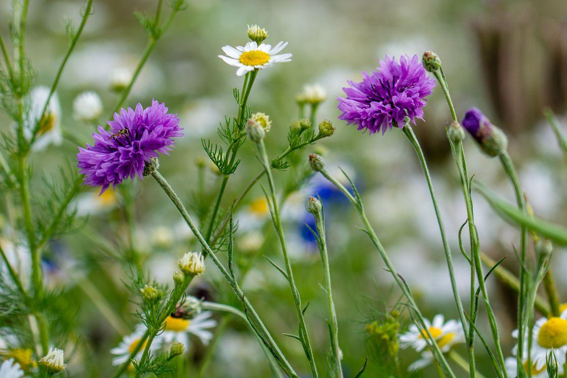 Фото бесплатно поле, цветы, васильки, ромашки, растения, макро, флора, цветы