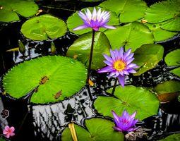 Пруд и три лилии