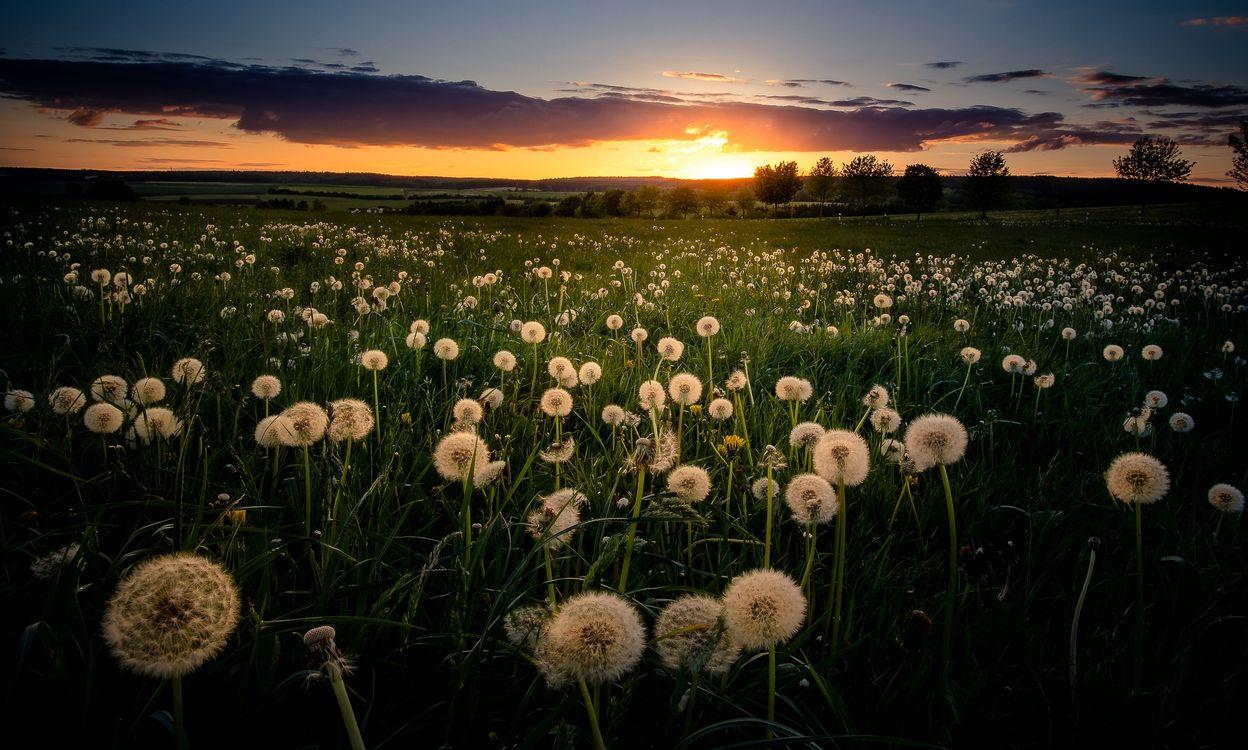 Фото бесплатно закат, поле, трава, одуванчики, деревья, природа, пейзаж - на рабочий стол