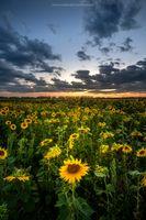 Фото бесплатно подсолнухи, природа, цветы
