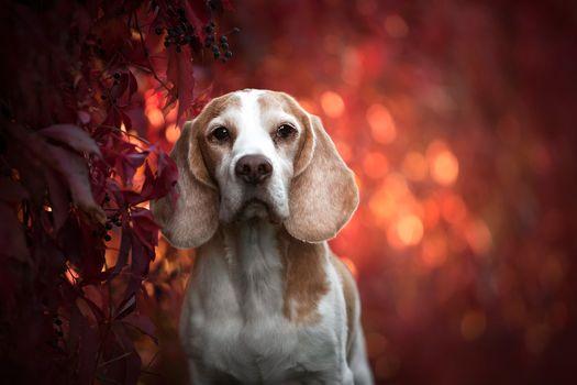 Photo free Beagle hunting breed dogs, dog, muzzle