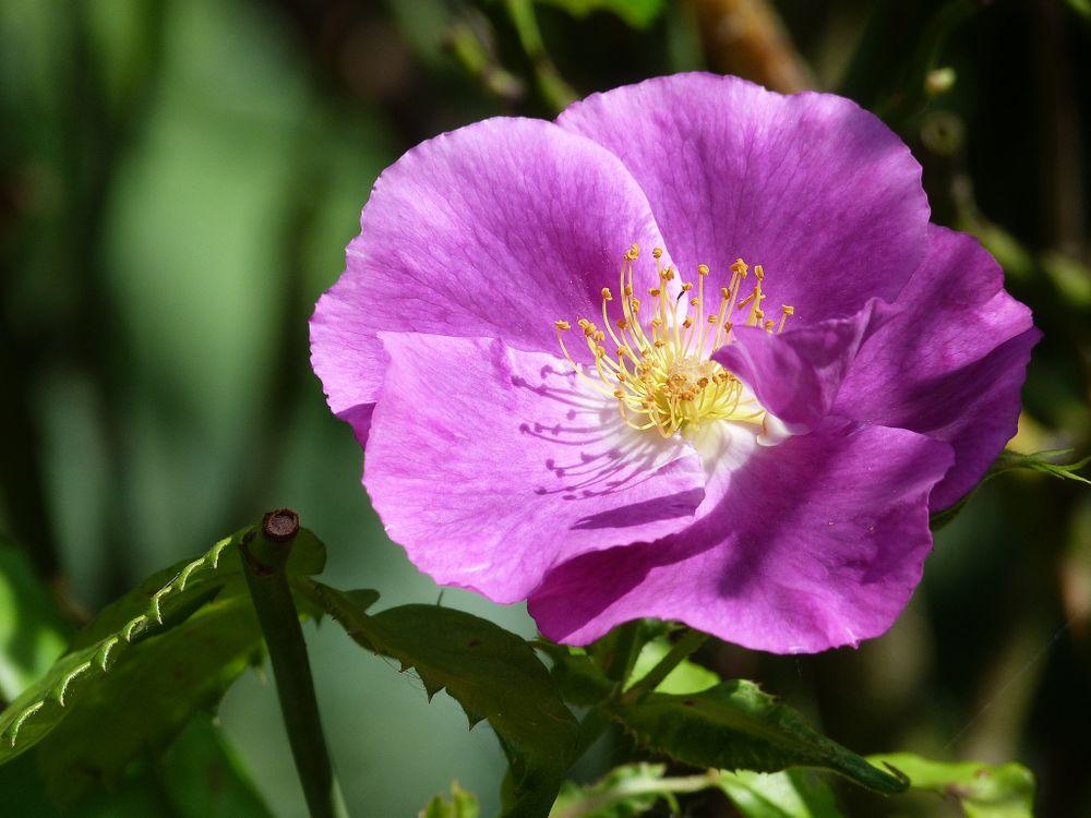 Обои роза, розы, пурпурные розы картинки на телефон