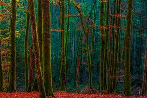 Красная осенняя листва в лесу