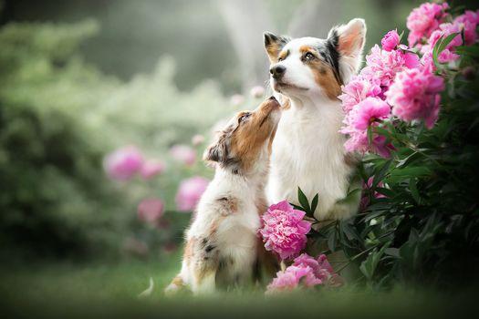 Мама и щенок возле пионов