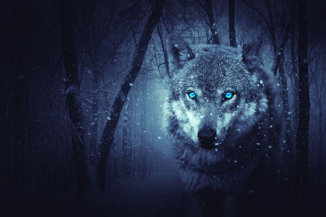 Фото бесплатно волк, хищник, животное, взгляд, зима, снег, природа - на рабочий стол