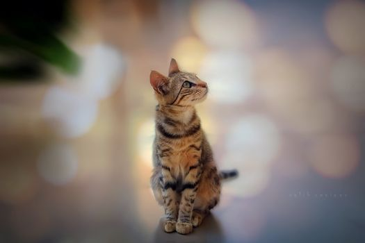 Заставки кошка, глядя, полосатый
