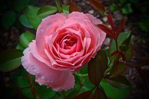 Фото бесплатно Bud, розовые, кустарник