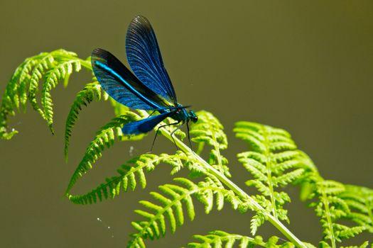 Фото бесплатно синяя, крылатая, стрекоза