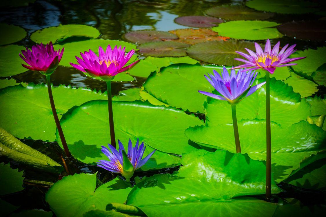 Фото бесплатно водяная лилия, цветок, водоём, флора, цветы