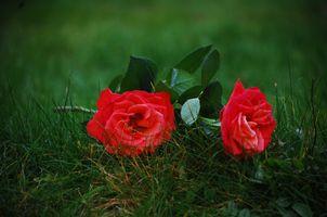 розы на траве · бесплатное фото