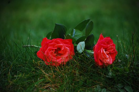 roses on the grass · free photo