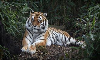 Заставки Амурский тигр, хищник, взгляд
