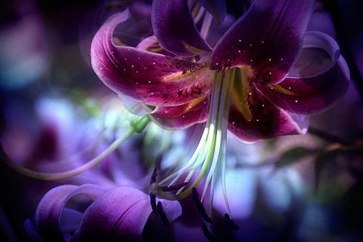 Лилия - цветок крупным планом