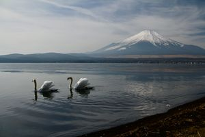 Два белых лебедя на озере