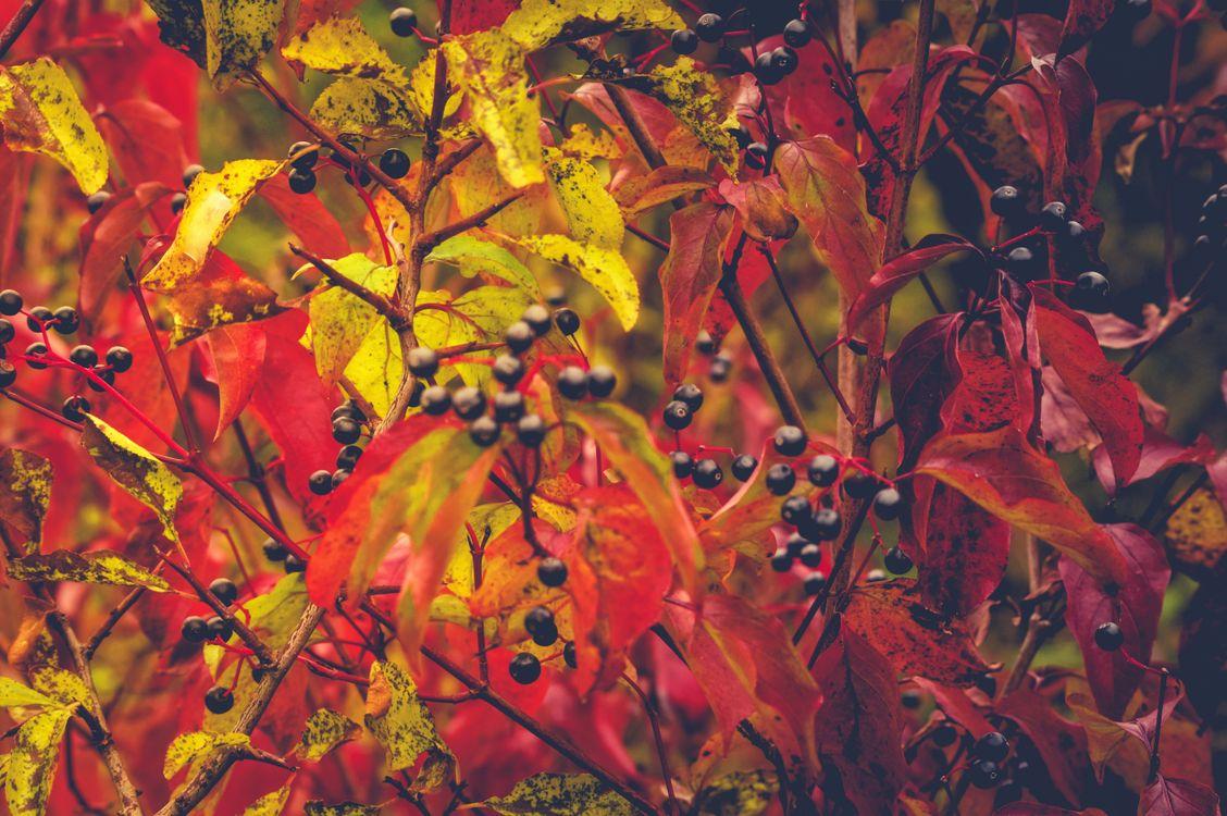 Обои осенние листья, ветки деревьев, осень, ягоды, плоды, природа, краски осени картинки на телефон