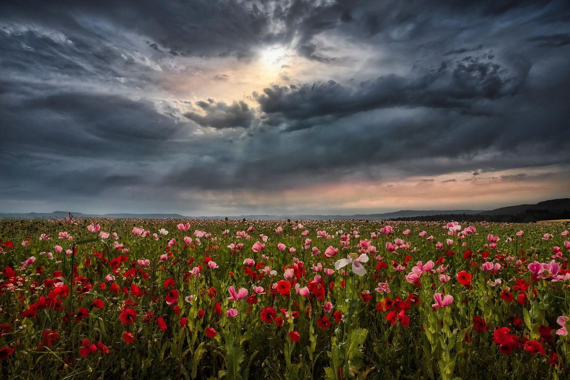 Фото бесплатно маки, небо, облака - на рабочий стол