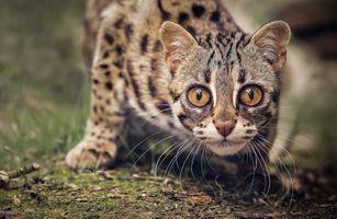 Заставки Азиатский леопардовый кот, морда, взгляд