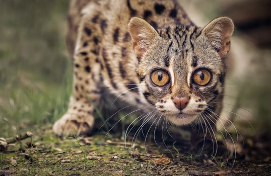 Photo free Asian leopard cat, face, look