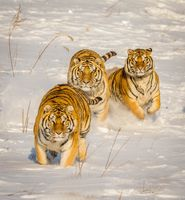 Заставки тигр, сугробы, снег