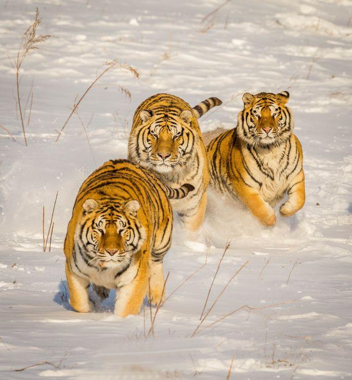 Обои тигр, сугробы, снег, хищник, животное, тигры, животные картинки на телефон