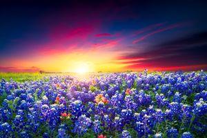 Фото бесплатно люпин, закат, цветение