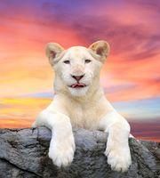 Фото бесплатно lion, лев, белый