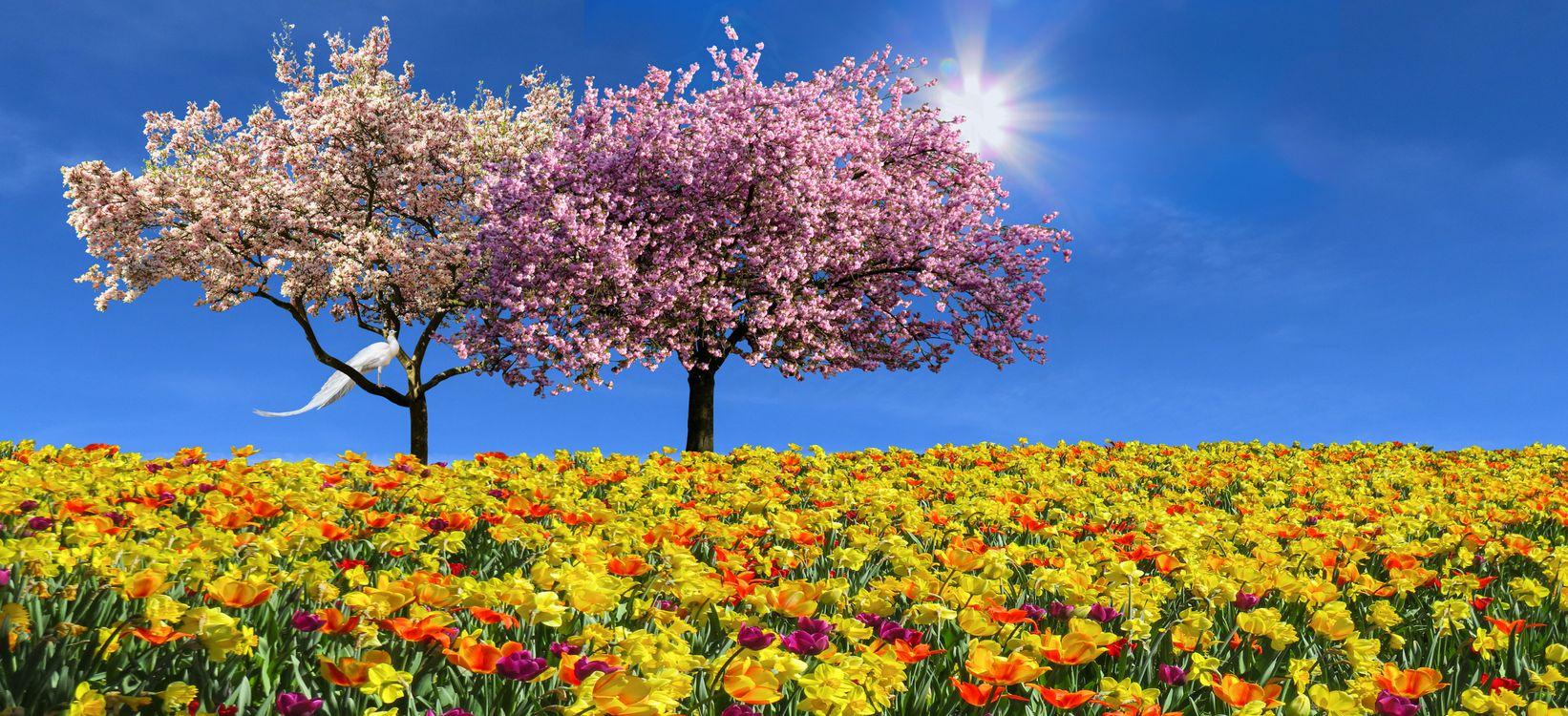 Фото бесплатно природы, пейзаж, эмоции, весна, цветы, тюльпаны, нарциссы, дерево, магнолия, цветение, цвести, весенний цветок, весна дерево, солнце, подсветка, цветы