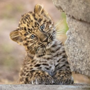 Котенок леопард