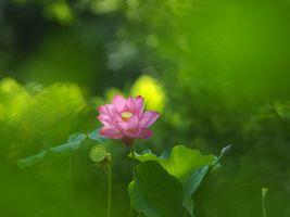 Цветок лотоса · бесплатное фото