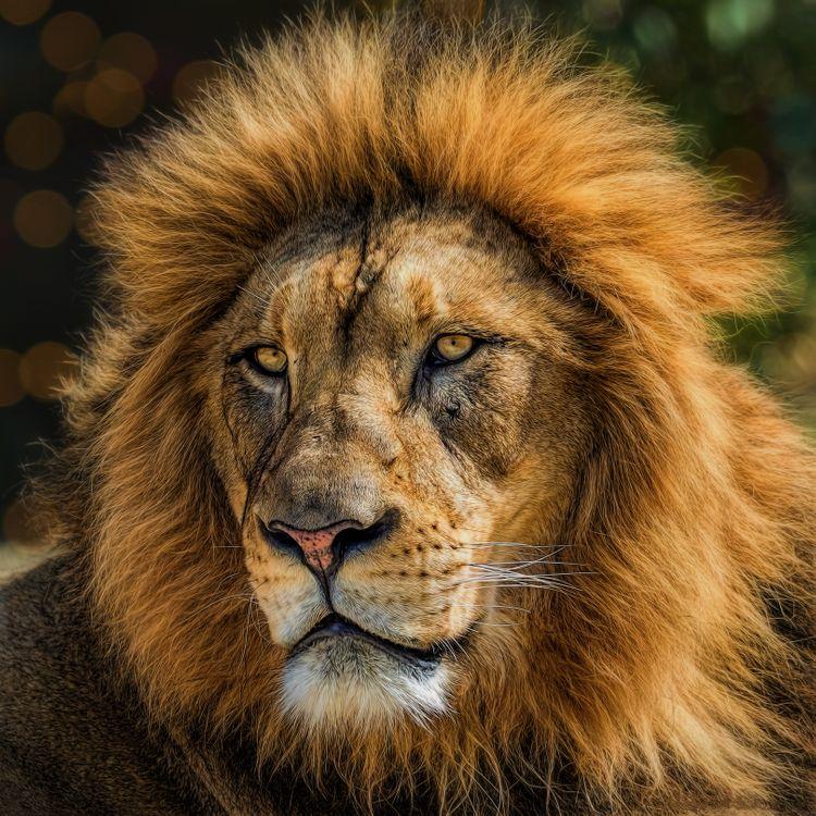 Лев с гривой · бесплатная заставка