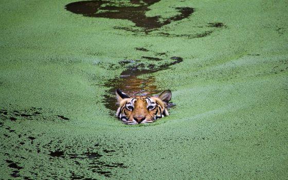 A tiger swims through the swamp
